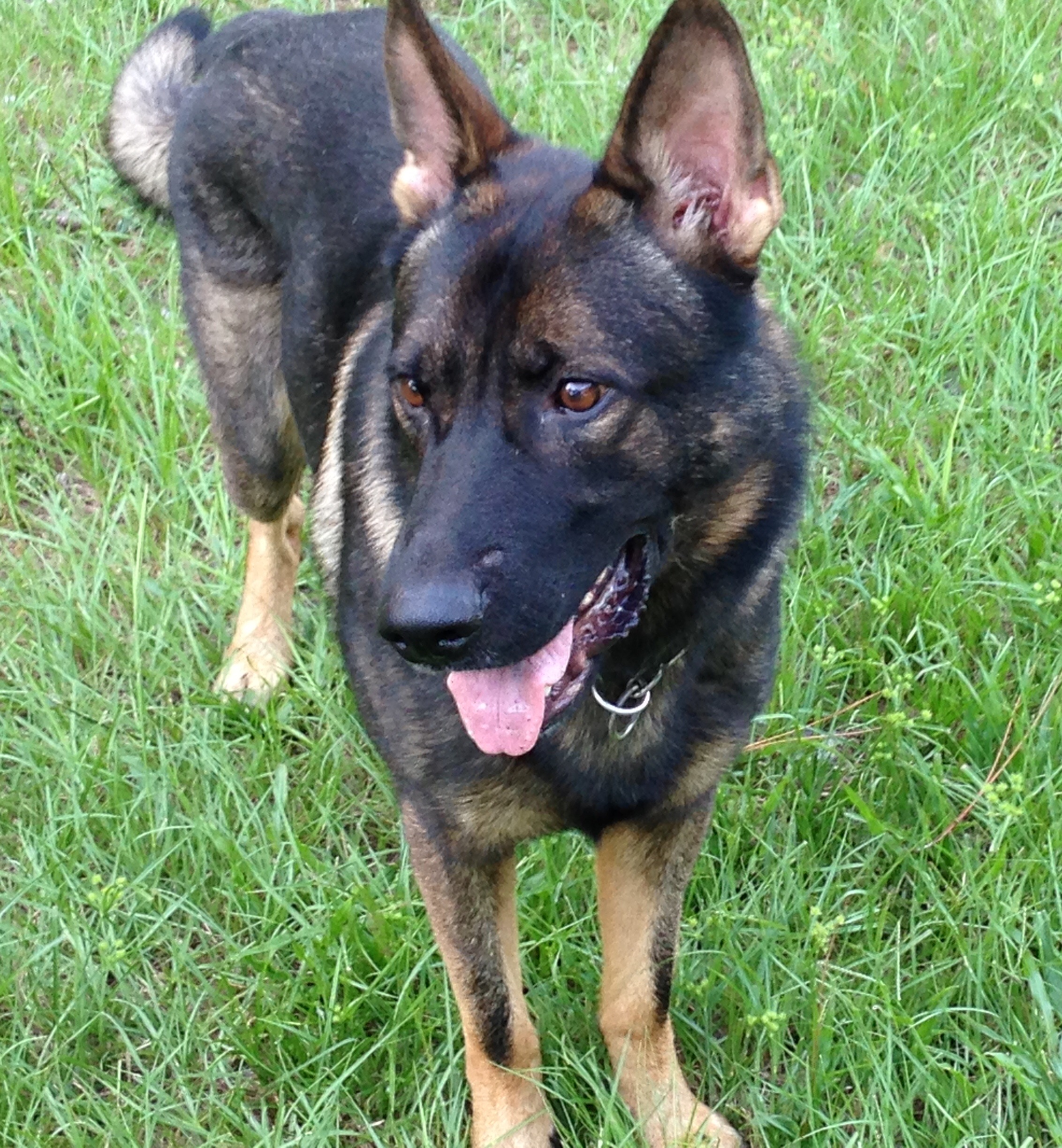 Gonso breed to Artis to have German Shepherd Puppies
